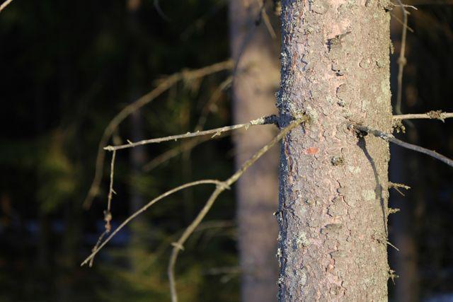 Kuusi // Spruce