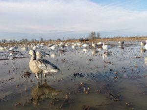 Snow Goose Hunting – Helpful Decoying Tips