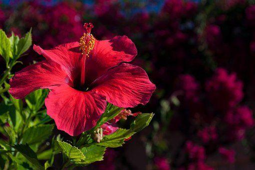 Hibiscus Plant Care Flowers I Like Hibiscus Plant Hibiscus Tea