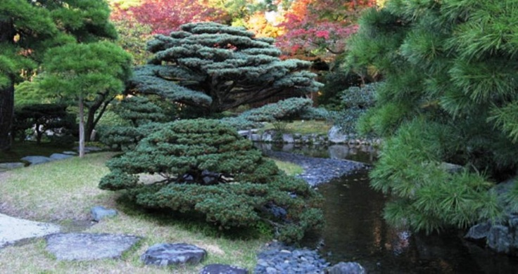 Cloud pruned blue spruce kyoto imperial palace via for Plants found in japanese gardens