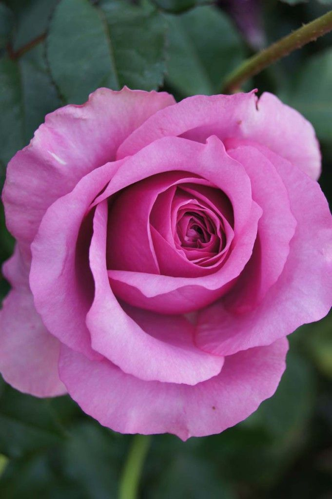 Purple Fragrancia | Ludwigs Roses | The name says it all. The free flowering bush easily grows to chest and even shoulder height; it is clothed with glossy foliage and keeps on producing the huge, super fragrant blooms.