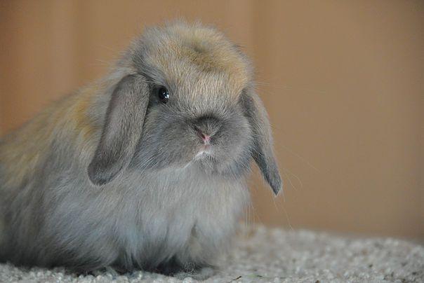 Lazy Daisy Rabbitry, American Fuzzy lops | Fuzzy Babies
