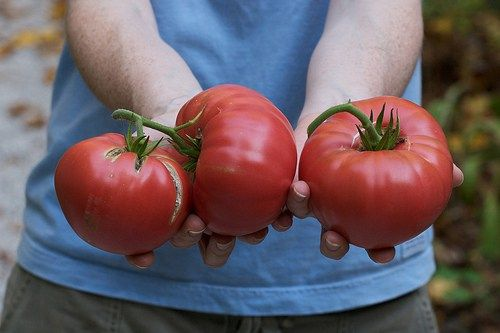 The Brandywine varieties are some of the most popular heirloom tomatoes grown in North America. They are known for their huge size, great taste, and pumpkin-like ridges. Many color options are also…