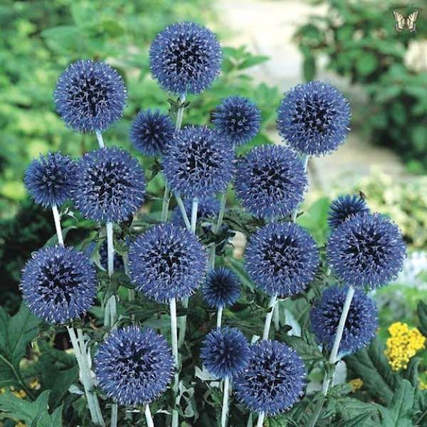 Blue Glow globe thistle seeds. Dramatic, 3-4 foot tall perennial with balls of brilliant blue flowers in summer.