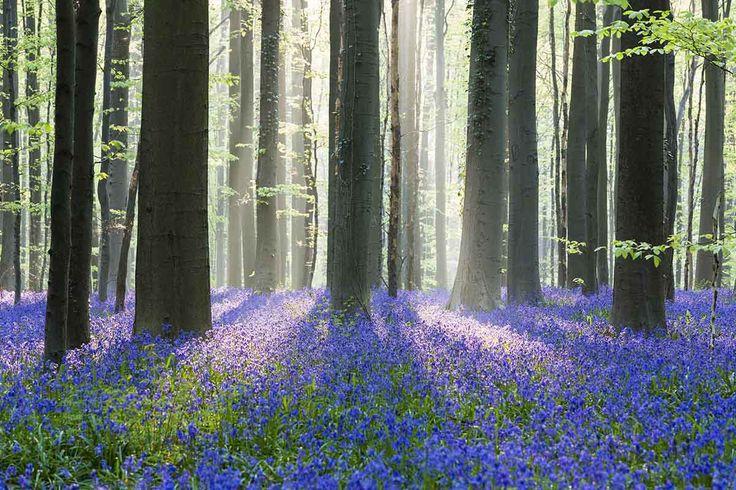 Bosque de Hallerbos, Bélgica - Bosques del mundo que parecen encantados