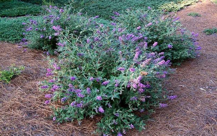 Buy Lo & Behold® Blue Chip Dwarf Butterfly Bush Online From Wilson Bros Gardens
