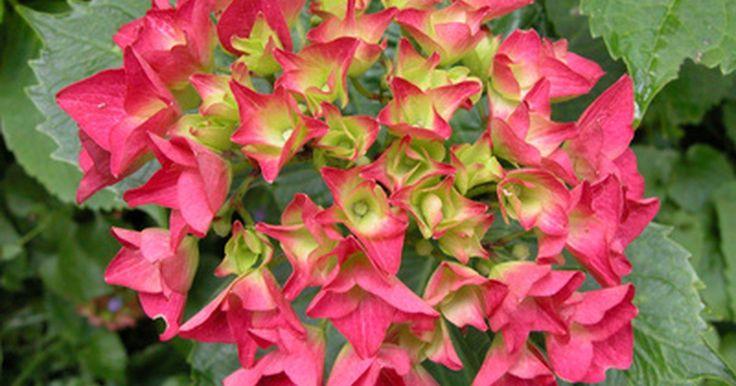 Como cuidar de uma hortênsia depois que as flores murcham. As hortênsias são cultivadas nos jardins do sul, pois elas têm um longo período de floração e prosperam em áreas com invernos brandos e poucas geadas. Mesmo em regiões mais frias, elas crescem bem em um vaso de planta, se cultivadas dentro de casa durante todo o ano ou levadas para dentro durante o inverno. Independentemente de ser cultivada ao ar ...