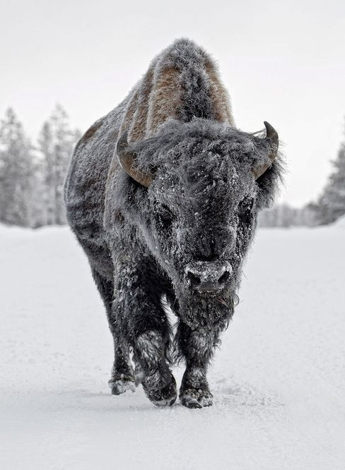 The European wood bison is the heaviest surviving wild land animal in Europe. A herd of 5 wisents was released into nature in march 2012 in Romania.