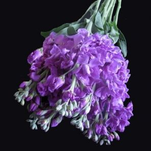 Bulk Discount Flowers - Medium Purple Stock Flower