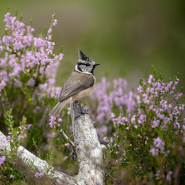 Crested Tit on perch in amongst the heather by Margaret J Walker, via Flickr