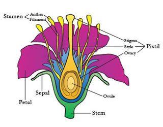 Fascinanta lume a naturii: Structura plantei si formule florale