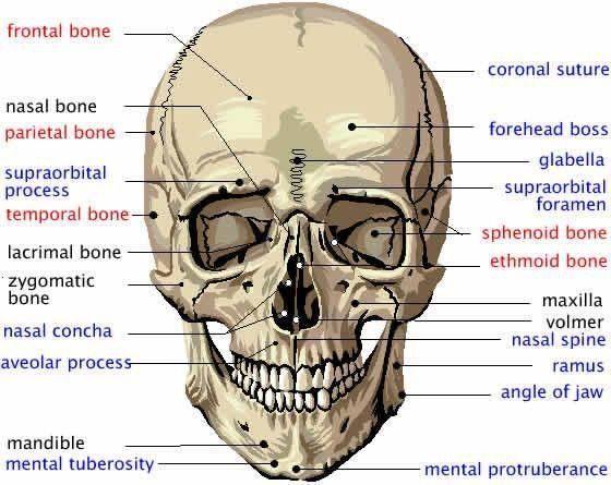 Großzügig Gesicht Anatomie Knochen Fotos - Anatomie Von Menschlichen ...