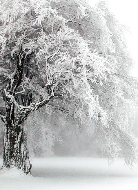 Snow-crusted.: Winter Snow, Nature, Winter Wonderland, Trees, Winter Scenes, Photo