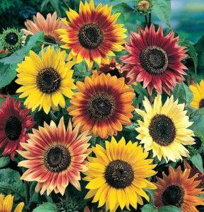 Sunflower Autumn Beauty Merupakan jenis bunga matahari  dengan ukuran yang lebih kecil dari biasanya dan memiliki warna unik. Minat? Sms ke 082214890085