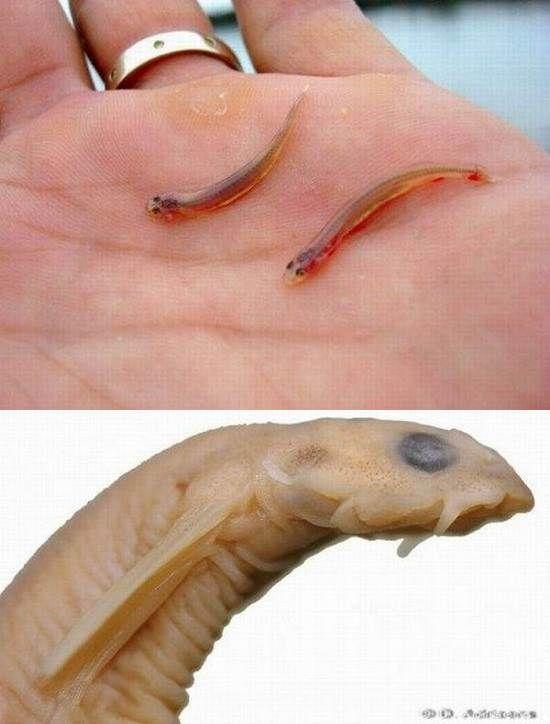 Sapos venenosos parecem ruins, certos? Bem, há uma infinidade de animais perigosos que você pode ter o azar de encontrar na floresta amazônica, como o peixe candiru. Esse parasita em especial é muito pequeno, e é capaz de entrar na uretra ou outros orifícios humanos. Melhor nem imaginar…