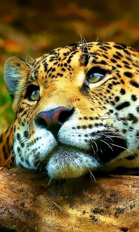 brown . leopard