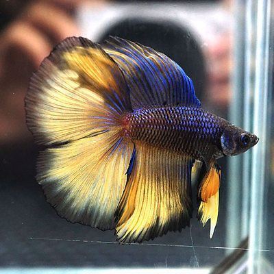 BLUE-MUSTARD-GAS-Full-Banding-Double-Tail-Halfmoon-DTHM