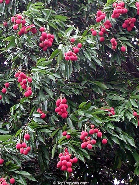 Tropical Fruit Names | Location: Lychees need full sun, but young trees must be protected ...