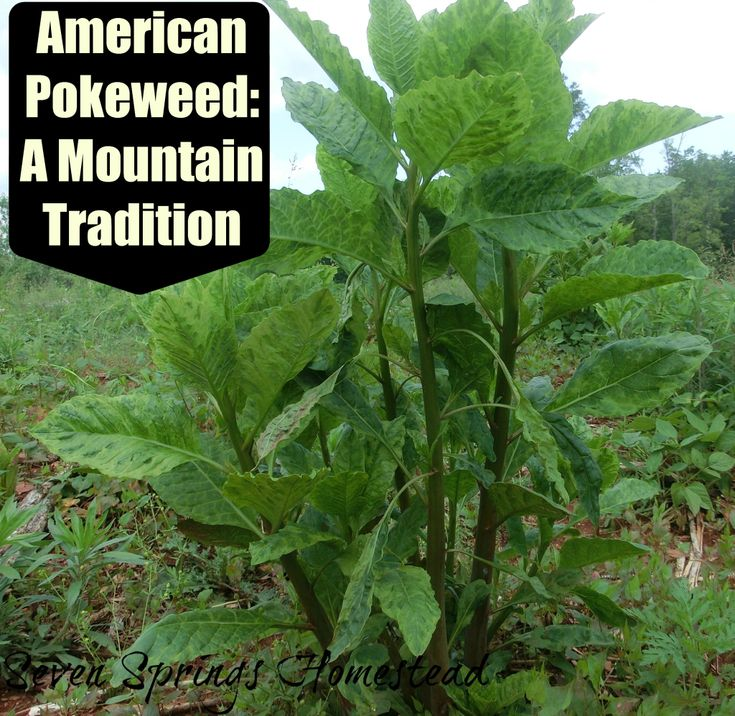 Foraging: American Pokeweed