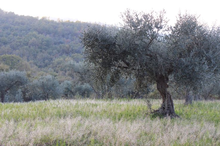 Adopt a tree in the Wild Bird Retreat grove. The clean air here makes for sublime extra virgin olive oil! #TerraAdopt #adoptanolivetree