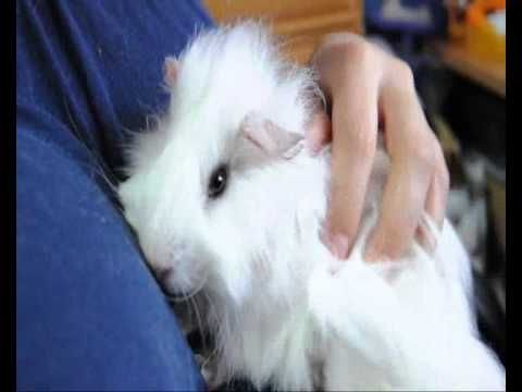 My happy guinea Pig Angora named Puca - O meu porquinho da india angorá ...
