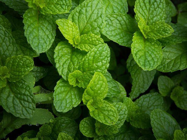 A hortelã ajuda, por exemplo, na melhora do hálito, no alívio de dores de garganta ou em tratamento de tosses.  A planta evita a má digestão e reduz gases.