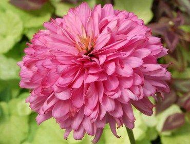 Les 25 meilleures id es de la cat gorie coupes de caniche - Quand couper les fleurs fanees des hortensias ...