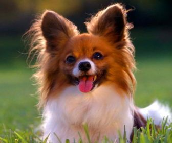 Best Cute Puppy Names For Papillon Best Cute Puppy Names Dogs