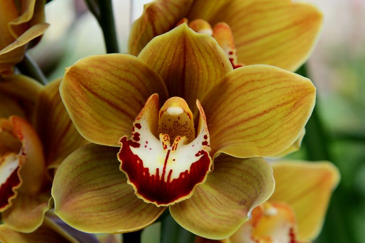 geel bruine Cymbidium Orchidee Foto Leen de Ruiter