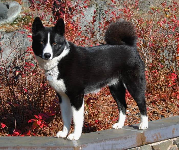 Karelian Bear Dog A Dog That Will Fight Bears For You With Images Elaimet