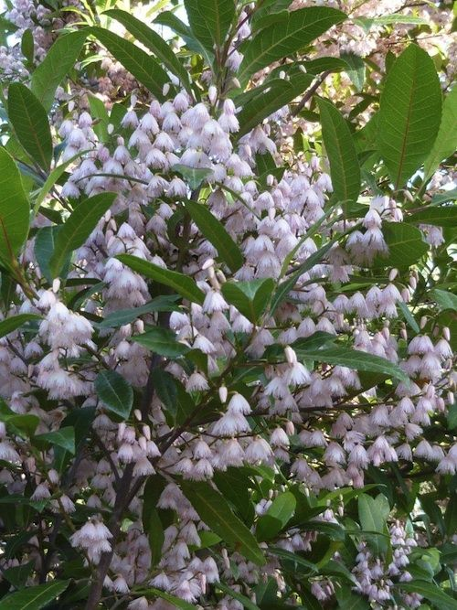 Elaeocarpus reticulatus, the Blueberry Ash, is a large shrub or tree that grows…