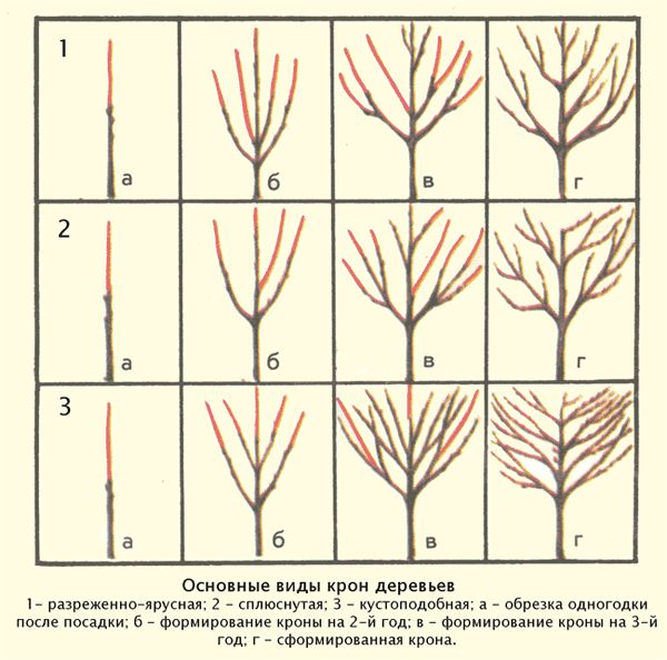 Возможные схемы формирования крон деревьев