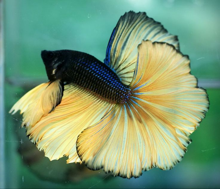 Elephant Ear Betta Fish Names Best Elephant 2017
