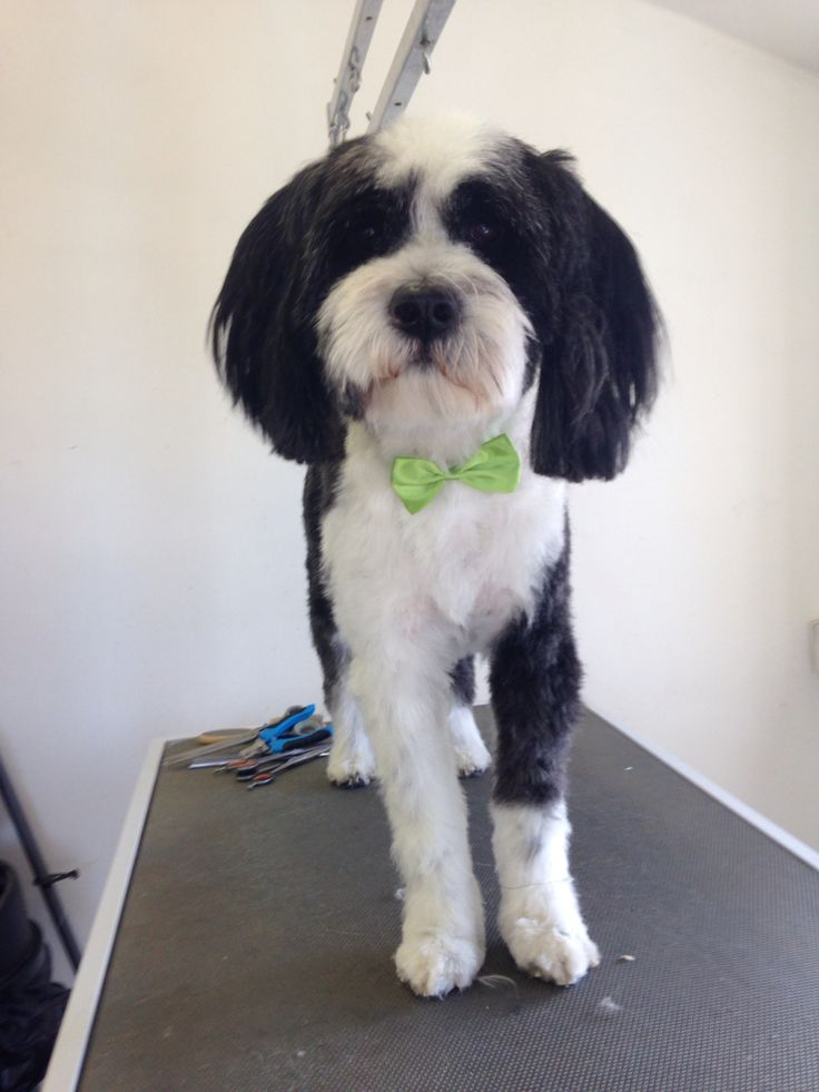 This is Bobbie the Tibetan terrier after his visit to scruffy to fluffy dog groomers