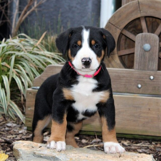 Pin On Greater Swiss Mountain Dog Puppies
