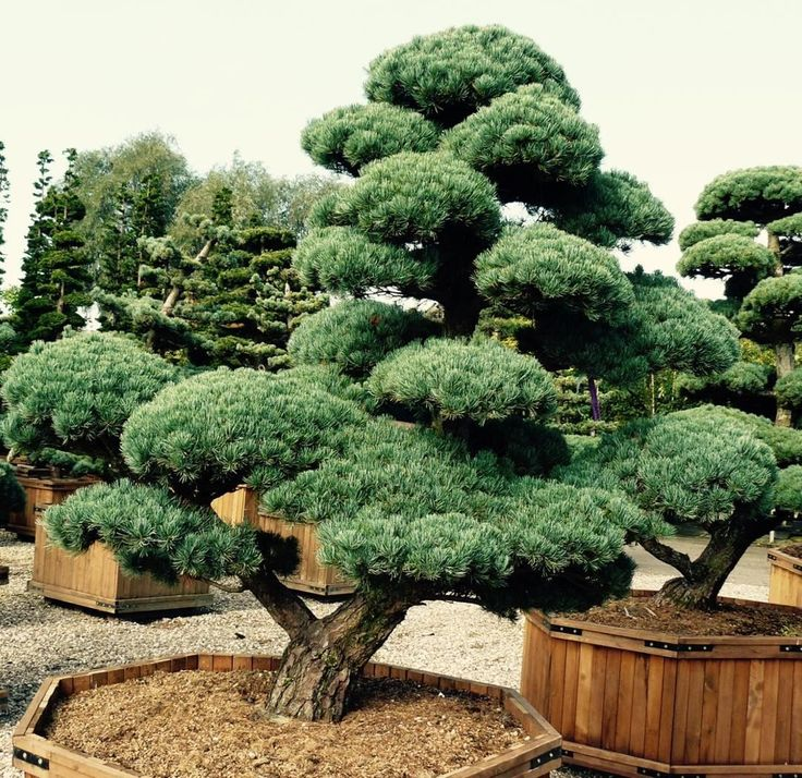 #pinus #parviflora #macrobonsai #bonsai #winterhard #winterhart #gartenbonsai Are you interestet in Bonsai trees?  Just call us! #gardenbonsai #30.000€ #kiefer #pine #pinetree #tree #plants #pflanze #gardendesign japanese_garden #asiagarden
