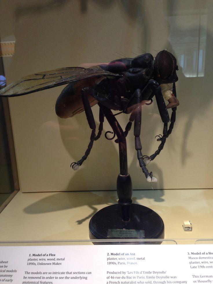 1890s anatomical model of housefly- buffalo museum of science ...