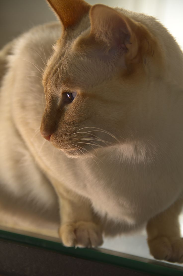 17 Best images about Flame Point Siamese on Pinterest ...