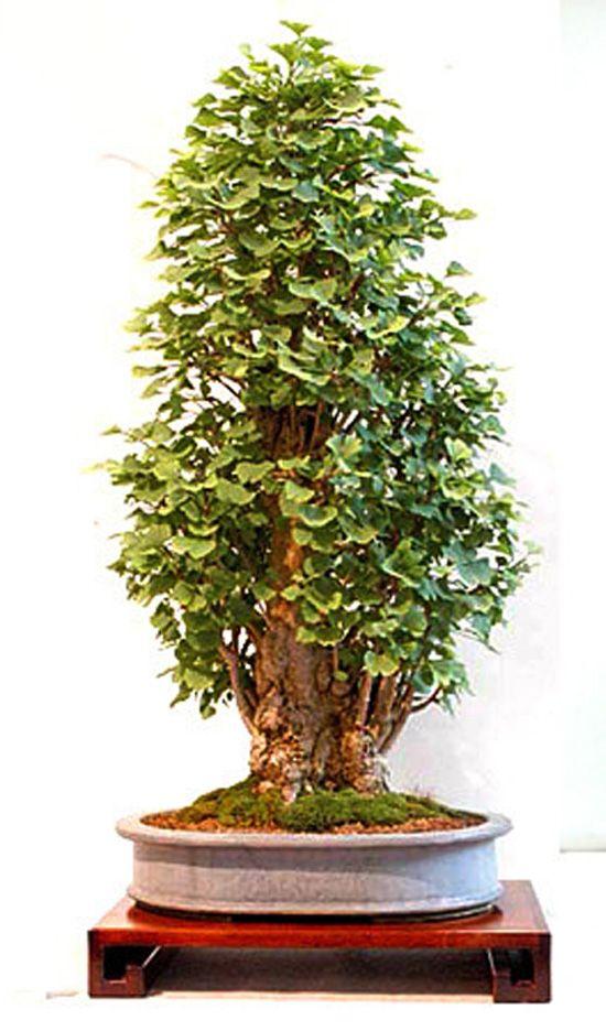 61 best images about gingko on pinterest trees bonsai. Black Bedroom Furniture Sets. Home Design Ideas