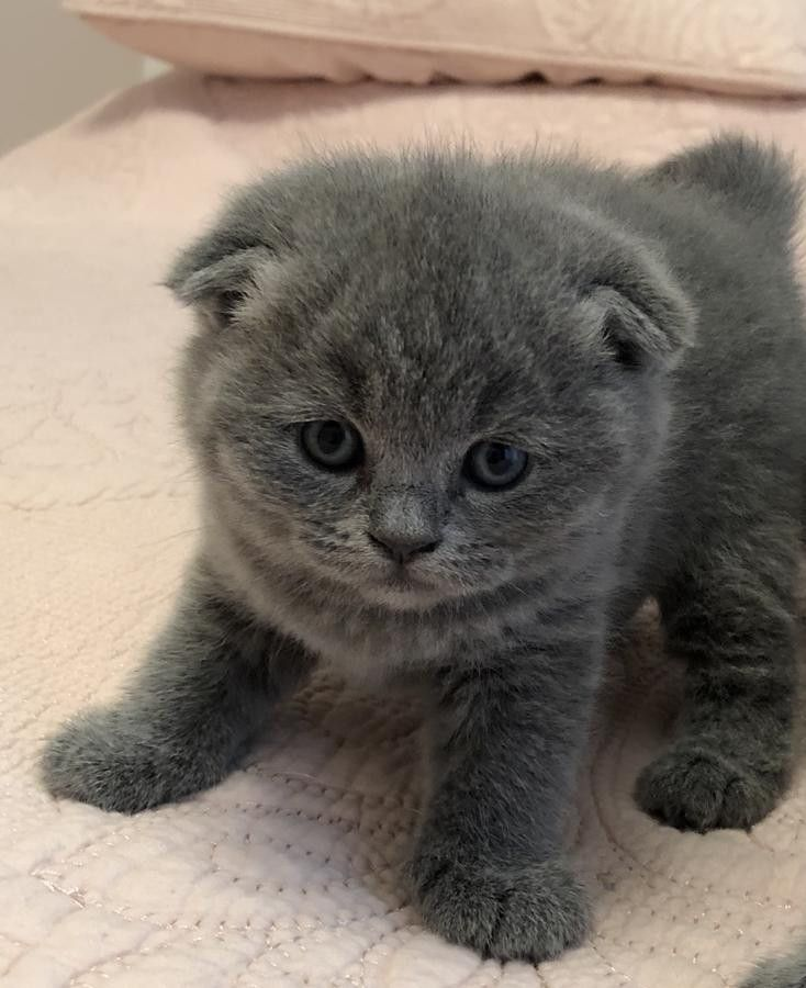 Scottish Fold Cats For Sale Downtown Mi In 2020 Cat Scottish Fold Scottish Fold Scottish Fold Kittens