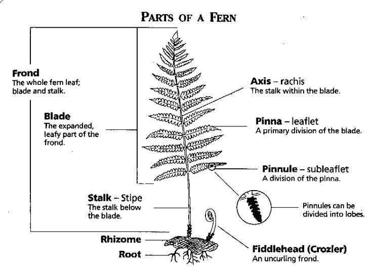 Introduction To Ferns Ferns Pinterest Fern Plants And Gardens