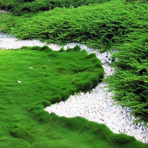 KOREAN VELVET GRASS - no mow grass
