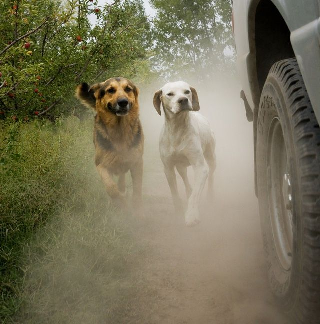 Learn why puppies chase cars, bicycles and cats and how to stop the chase. This article explains puppy chasing and how to deal with inappropriate dog chasing behavior.