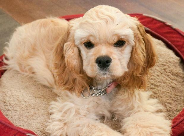 i really really really want a cocker spaniel puppy!!!!!