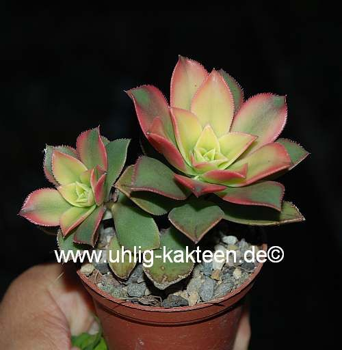 Uhlig-Kakteen-Shop Aeonium decorum variegata 'Kiwi'