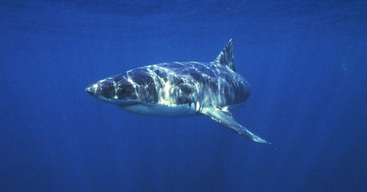 Espécies legais de filhotes de tubarão para aquários. Juntamente com cobras, aranhas e roedores, os tubarões são criaturas cuja reputação causa medo imediato. Mas nem todos os tubarões são monstros que os filmes e a televisão mostraram. Na verdade, diversas espécies de tubarões são realmente pequenos e lindos. Nos últimos anos, um mercado de entusiastas de aquário de água salgada se desenvolveu para ...