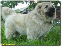 кавказская овчарка - Поиск в Google