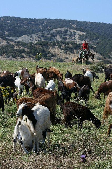 Sheep and Shepherd - Karpas Peninsula, North Cyprus
