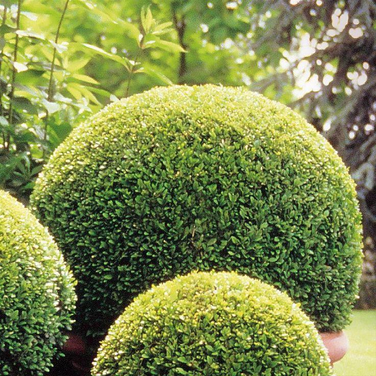 Buxus sempervirens topiary spheres