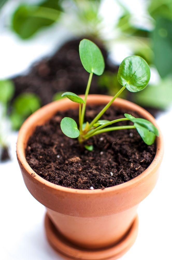 Hier findet ihr eine Anleitung, wie ihr eure Pilea vermehren könnt. Die Pilea lässt eigene Ableger wachsen, welche sich sehr einfach anwachsen lassen.